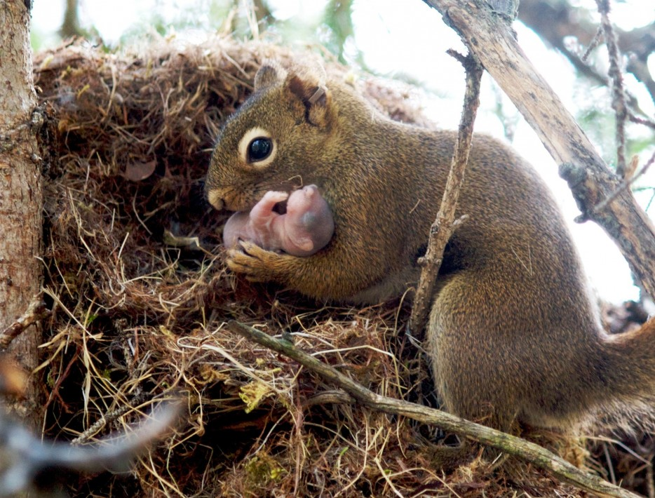 1143355-red-squirrel-934x