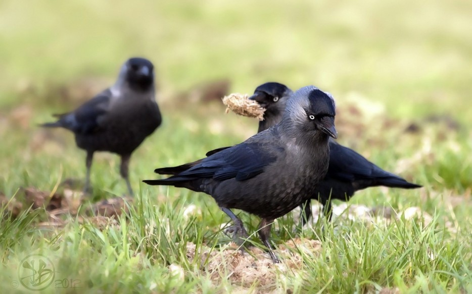 Cute-Crows-Wallpaper-934x