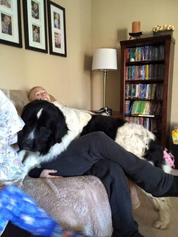these-huge-dogs-think-theyre-puppies-28-photos-1