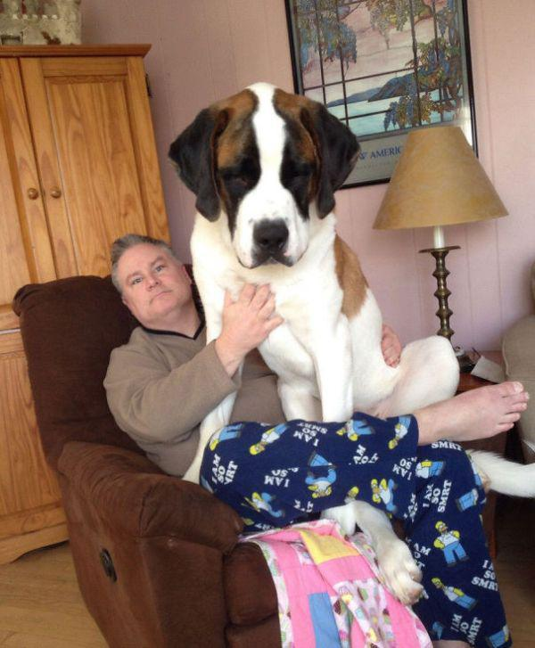 these-huge-dogs-think-theyre-puppies-28-photos-15