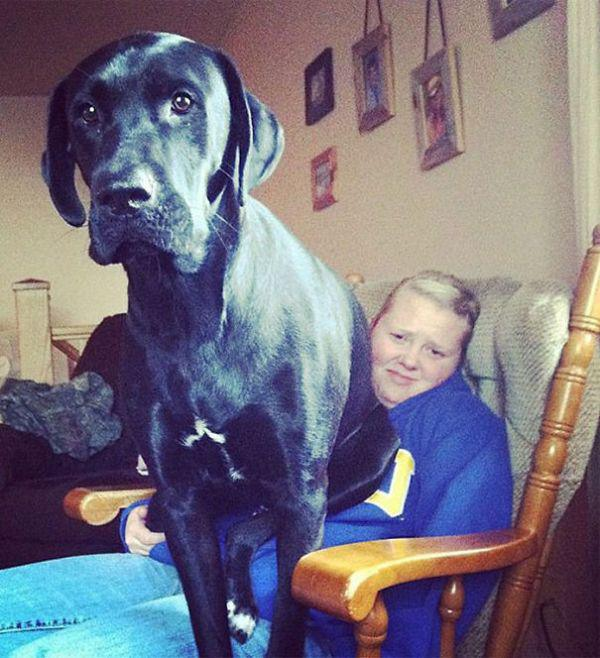these-huge-dogs-think-theyre-puppies-28-photos-18