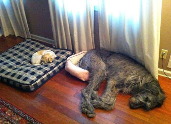 these-huge-dogs-think-theyre-puppies-28-photos-19