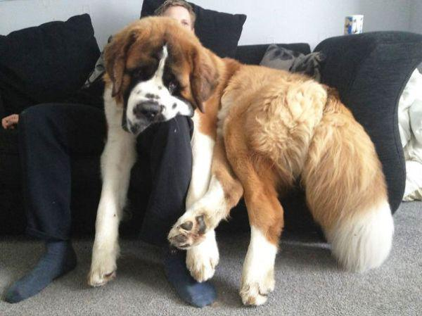 these-huge-dogs-think-theyre-puppies-28-photos-2