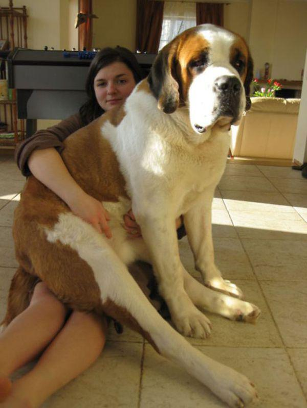 these-huge-dogs-think-theyre-puppies-28-photos-20
