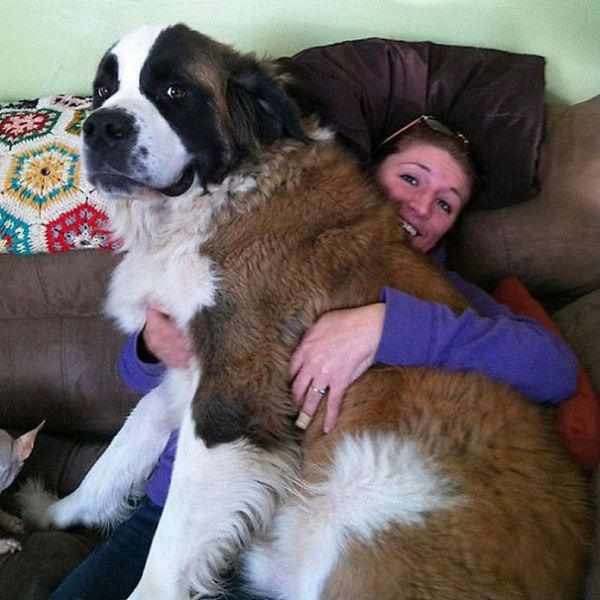 these-huge-dogs-think-theyre-puppies-28-photos-21