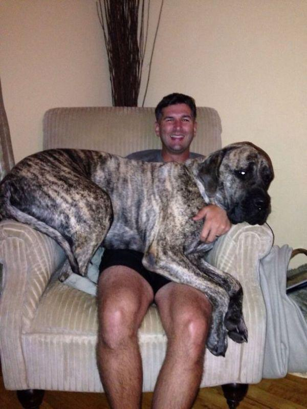 these-huge-dogs-think-theyre-puppies-28-photos-27