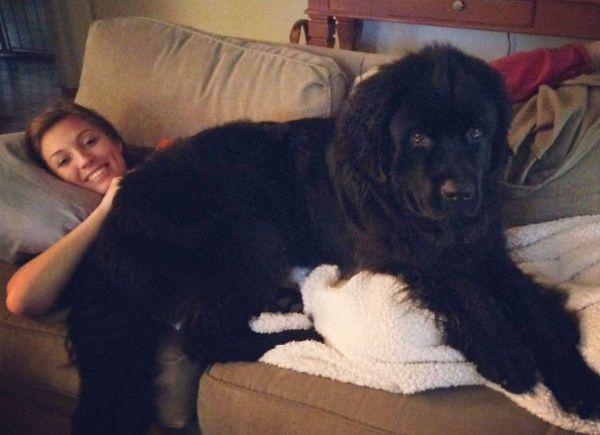 these-huge-dogs-think-theyre-puppies-28-photos-3