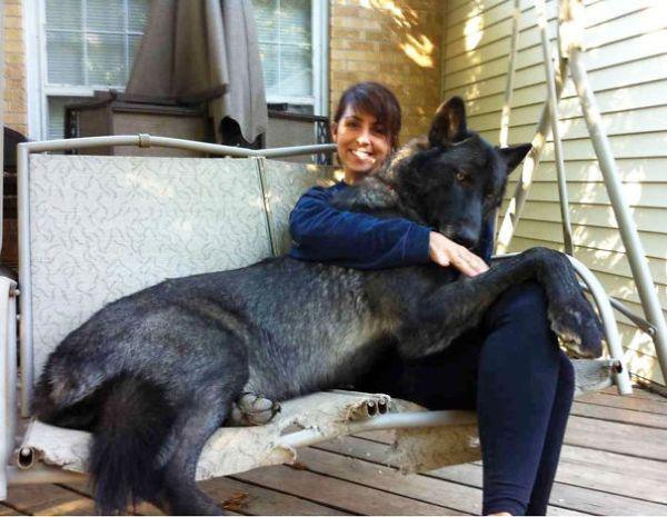 these-huge-dogs-think-theyre-puppies-28-photos-5