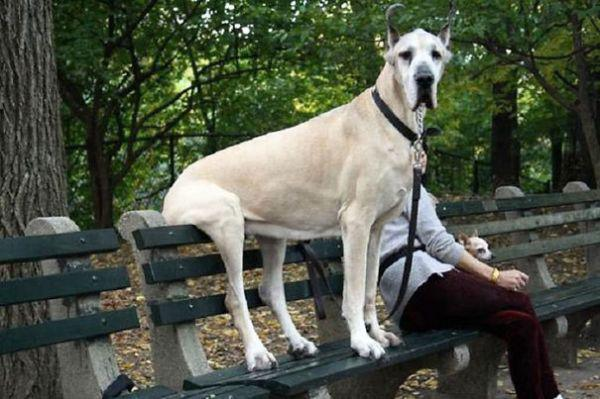 these-huge-dogs-think-theyre-puppies-28-photos-7