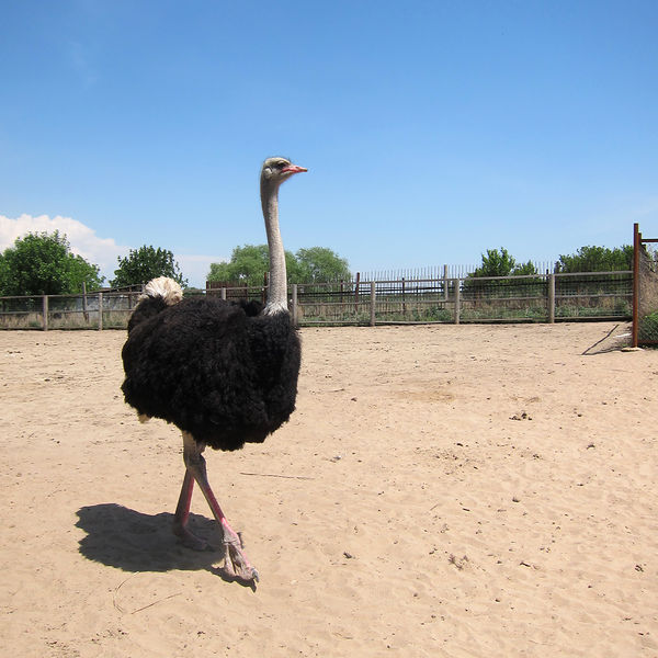 Front – The ostrich farm, located close to Almaty, attracts several hundred visitors a day in the summer. (Photo: Joanna Lillis) 1 – The ostrich farm, located close to Almaty, attracts several hundred visitors a day in the summer. (Photo: Joanna Lillis) Story page – Opened 11 years ago, the ostrich farm near Almaty primarily sells ostrich chicks in small batches for $120 apiece to small farmers, who rear them and sell the meat retail. Day visitors can also buy ostrich eggs big enough for a 13-person omelet. (Photo: Joanna Lillis)